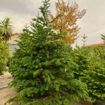 Abies nordmanniana arbol completo