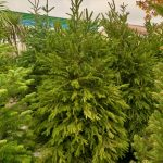 Picea abies excelsa abeto natural